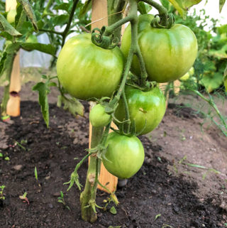 Proper Way to Water Tomato Plants