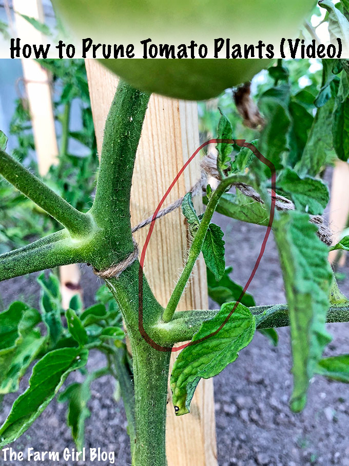 How to Prune Tomato Plants (Video)