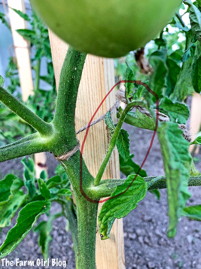 backyard gardening, gardening, how to prune the tomato plant, How to Prune Tomato plants, how to snap tomato suckers, pinching off tomato suckers, snapping off the extra tomato leaves