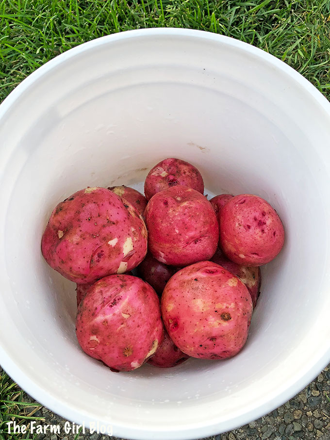 homegrown, tasty, tips, Young Potato (How and When to Start Digging), young red potatoes
