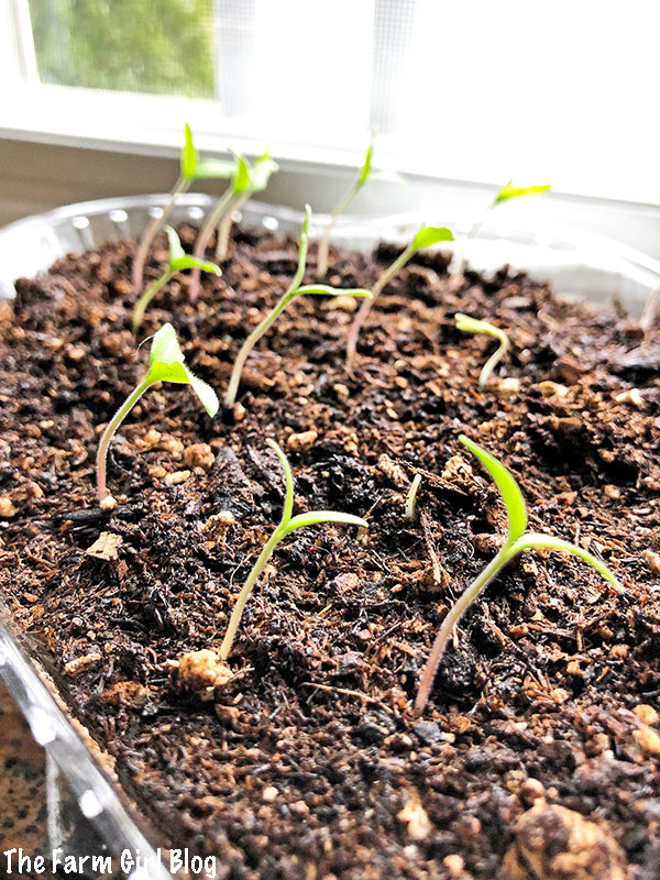How To Start Growing Tomato Seeds Indoors The Farm Blog