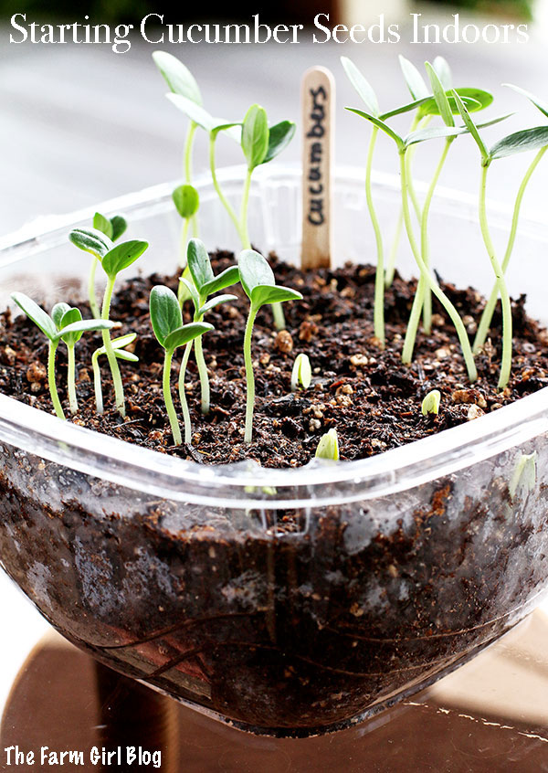 This post you will learn how to  Starting Cucumber Seeds Indoors. If growing seedling has been intimidating you and you were buying it at the store you're just wasting money. It's much easier than you can imagine. | thefarmgirlblog.com