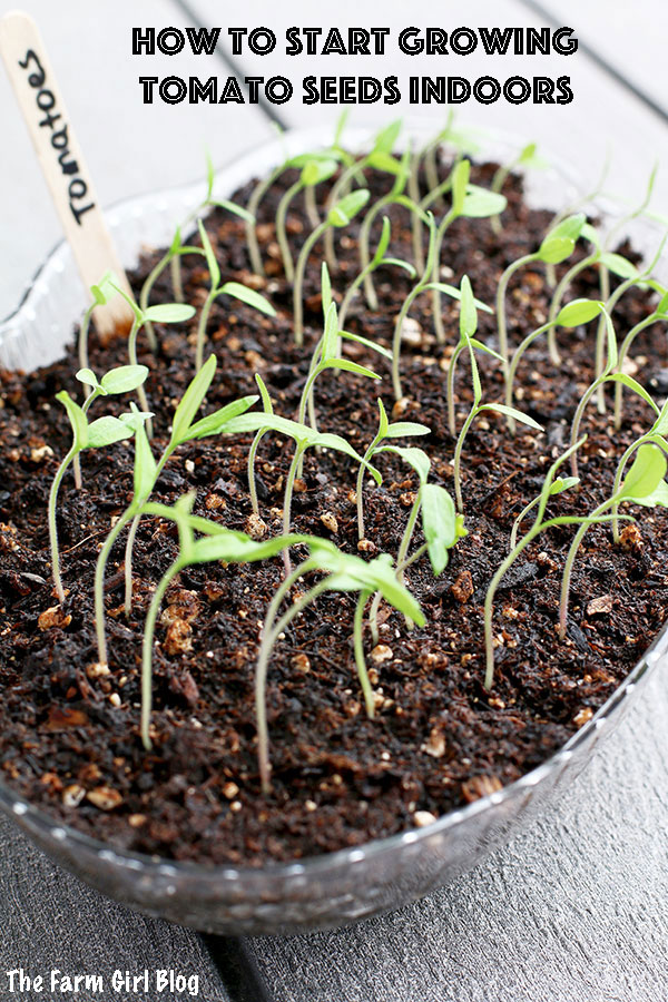 Tomato plants are one of the easiest vegetables to start growing indoors from seeds. You need to start this process about four to six weeks before the last spring frost date in your region.  | thefarmgirlblog.com